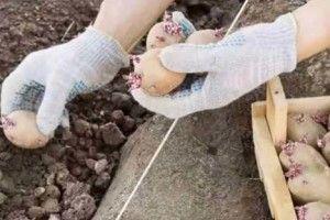 Секрети вирощування картоплі від міжнародного подружжя