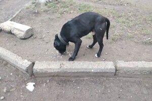У Луцьку в районі Балки бігає чорний бійцівський пес із нашийником (фото)