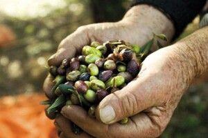Чим відрізняються оливки імаслини, і що їсти корисніше