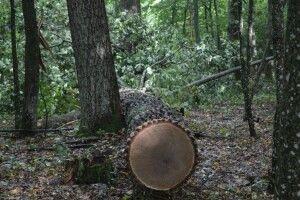 На Волині крадії зрізали у Цуманській пущі дуби