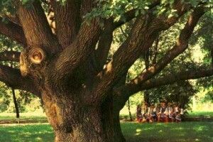 В Україні з'явилася онлайн-карта найстаріших дерев