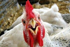 Чи дотримає «Пан Курчак» слова?