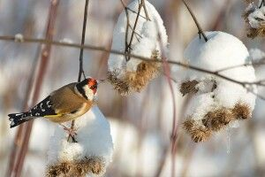 Фотомисливець розповів, чому щигликів називають птахами з Божою міткою (Фото)