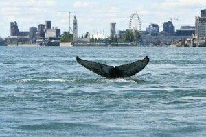 Горбатий кит проплив 400 км річкою і шокував жителів мегаполіса