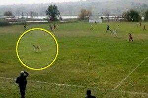 У чемпіонаті Молдови з футболу забити гол допомогла коза, яка вискочила на поле (відео)