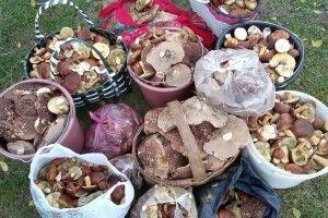 Волинянка назбирала три кошики, чотири відра та шість пакетів грибів – ще й у хустку набрала