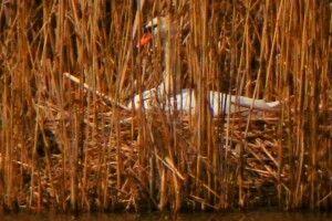 Лебеді вже взялися за висиджування лебеденят (Фото)