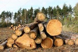 Знищили 800 гектарів лісу,  щоб вирощувати на цій землі коноплі