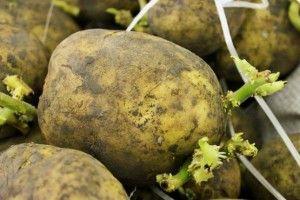 Як вдвічі збільшити урожай картоплі без зайвих хімікатів?