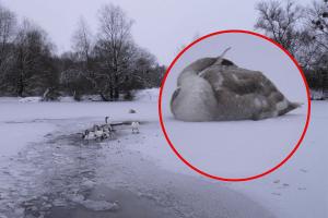 На Рівненщині замерзла водойма, де зимують лебеді (Фото)