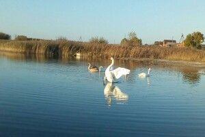 В Турійські ОТГ з'явився відповідальний за озеро: лебеді задоволені