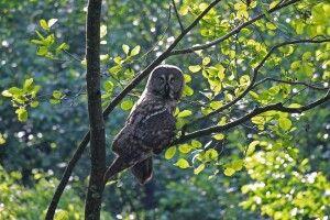 Фотограф у «джунглях» волинського Полісся підловив червонокнижну сову (Фото)