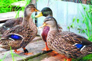 Якщо качки ростуть ненаводі— їхнє м'ясо не смачне
