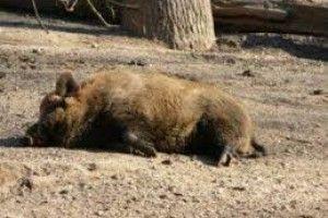 Волинські лісівники борються з поширенням африканської чуми