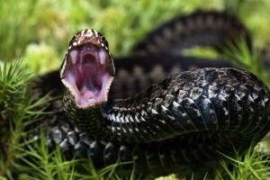 На Рівненщині молодого чоловіка, що пішов по гриби, вкусила змія