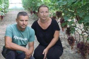 На Волині фермер вирощує 57 сортів винограду (фото)