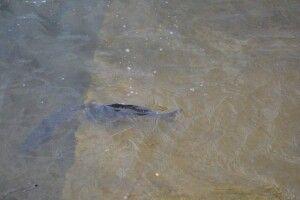 Чому гине риба у Ковельському водосховищі