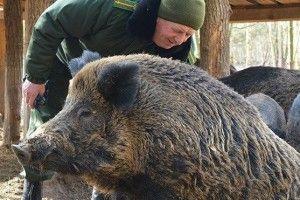 Подивитися на диких кабанів у Шацьк їдуть з усієї України та Білорусі (Фото)