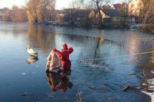 У Луцьку водолази ДСНС врятували на кризі двох лебедів і передали їх до зоопарку
