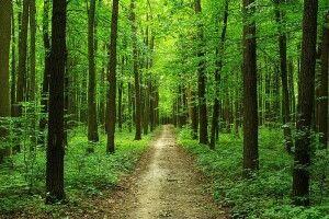 У Прибузькому лісництві побільшало вепрів