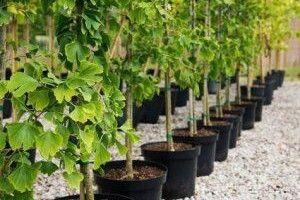 Киянам безкоштовно роздадуть саджанці дерев для озеленення міста