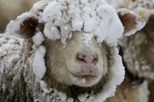 Погода на середу, 22 січня: найкращими синоптиками цього дня будуть вівці з поросятами