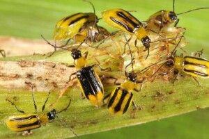Рожищенський район атакує західний кукурудзяний жук
