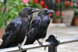 50 тисяч – для того, хто вижене ворон із парку у Володимирі-Волинському
