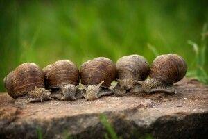 Шукають бажаючих вирощувати равликів