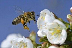 Куди волинським пасічникам звертатися у випадку отруєння бджіл пестицидами
