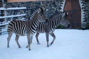 Рівненські зебри, страуси, альпаки, капібари та мари кличуть за лаштунки зимового зоопарку (фото)