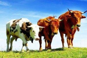 Хуртовина вбила майже 2 тисячі корів