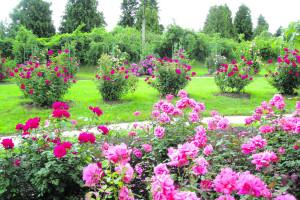 Літній догляд за трояндами
