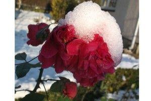 Троянди і… сніг