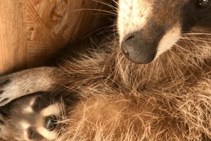 У Луцькому зоопарку – поповнення в сімействах єнотів та лемурів