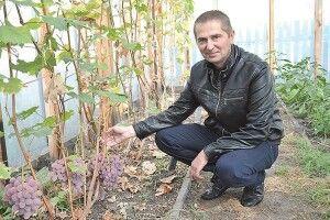 Поліський виноградар радить залишати на кущі лише один пагін