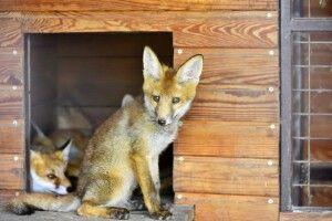 14 луцьких лисиць потребують поліпшення житлових умов