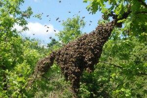 В агрохолдингу відповіли на звинувачення щодо загибелі сотень сімей бджіл біля Рівного