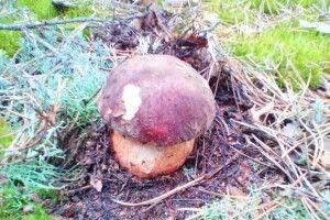 На Волині вже збирають білі гриби