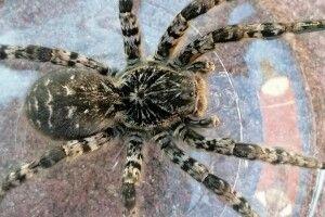 Фотомисливиця клацнула з фоторушниці південноруського тарантула (Фото)