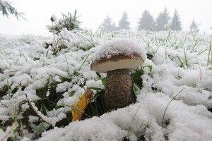 На Волині знайшли унікальні зимові білі гриби (Фото)
