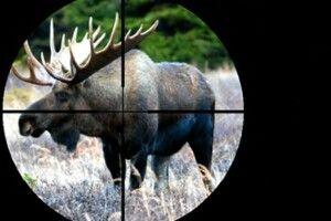 На Волині браконьєри вбили самку лося та дитинча (Фото 18+)