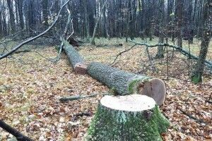 Феміда визначила покарання «чорним лісорубам»