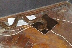 Прийшовши додому, українка зазирнула під ліжко – і побачила там велетенського пітона (Фото)