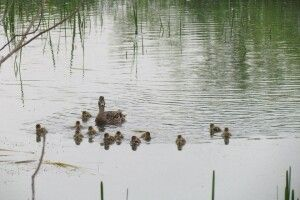 Багатодітна дика качка вигодовує 12 каченят (Фото)