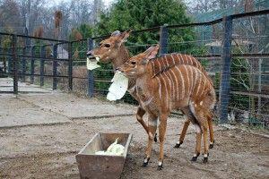 Рівненські антилопи ньяла за обидві щоки наминали вітаміни (фото)