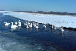 Серед криги і снігу на волинській річці — майже два десятки лебедів (Фото)