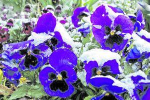У Павлівці івхолод цвітуть… братки