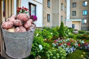 Коли ж квіти у нас переможуть картоплю?