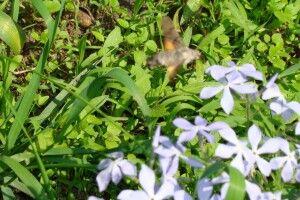 На Ратнівщину прилетів... метелик–колібрі (Відео)
